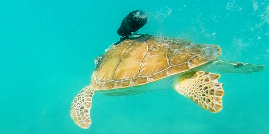Sea Turtle swimming with a Paralenz Dive Camera